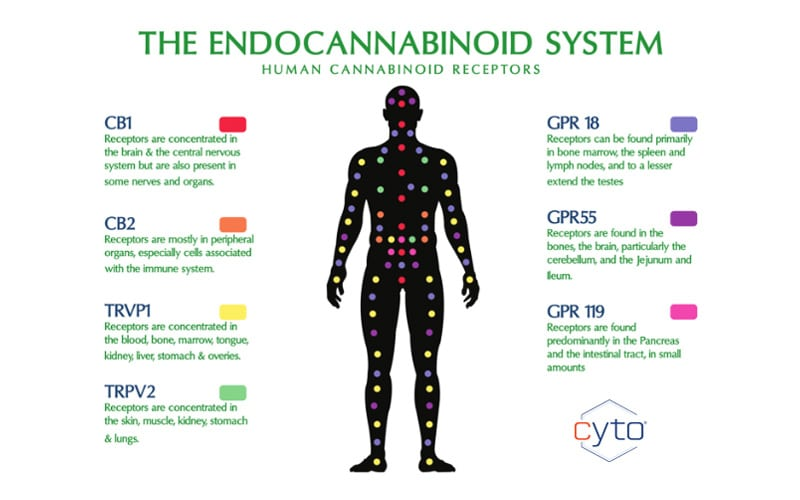 A Simple(ish) Explanation of Your Endocannabinoid System